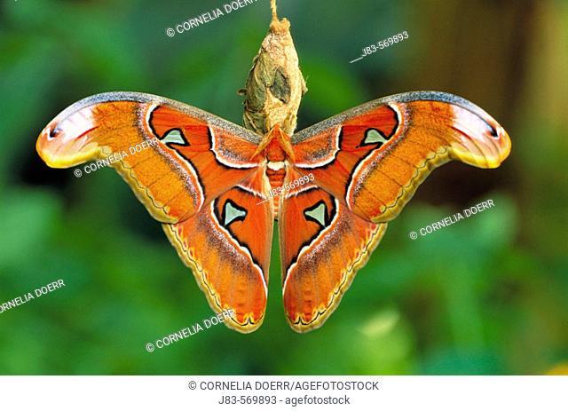 Atlas Moth (Attacus atlas). Africa