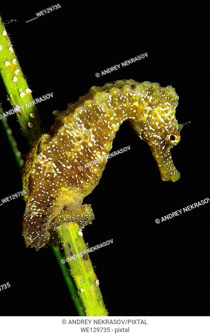 Short-snouted Seahorse (Hippocampus hippocampus), Black Sea, Crimea, Russia
