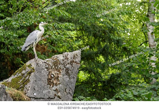 Little Blue Heron in nature