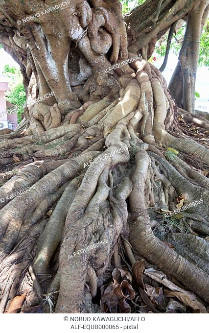 Sea fig tree