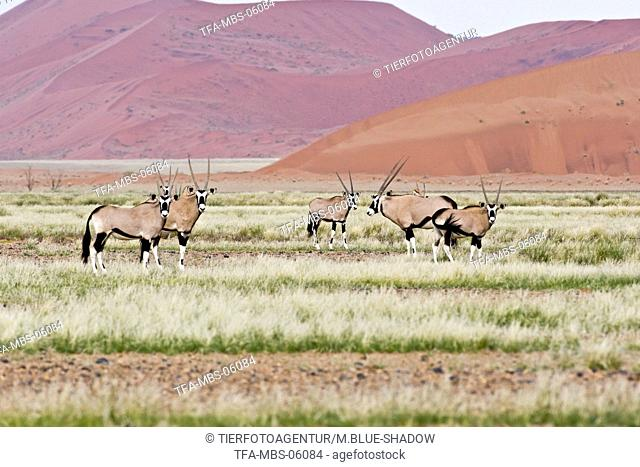 Oryx antelopes