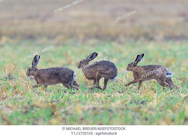 European brown hares (Lepus europaeus), Hesse, Germany, Europe
