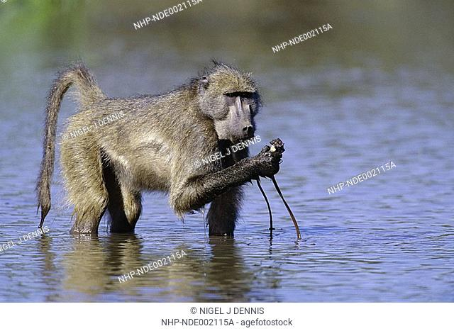 CHACMA BABOON Papio ursinus eating Water-Lily tuber Kruger Natl Park, South Africa
