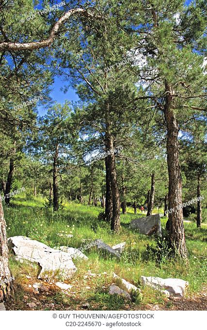 Trees,parc panoramique des Pierres Blanches, Saint Clair mount, Sete, Herault 34, Languedoc-Roussillon region, France