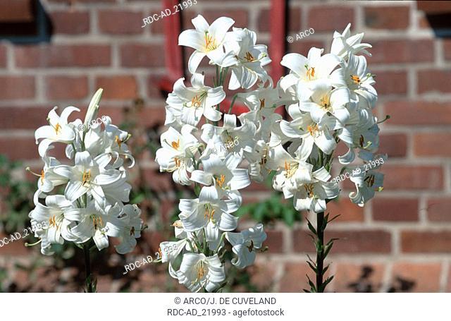 Lilies Lilium candidum