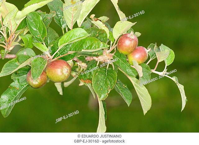 Fecundated ovary of the Apple tree (Malus sp), Vacaria, Rio Grande do Sul, Brazil