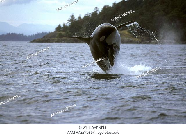 Orca Breaching (Orcinus orca) Pacific Northwest