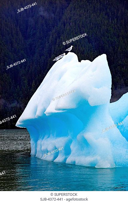 Seagulls perch on ice from the Le Conte Glacier, the southernmost tidewater glacier in the United States, near Petersburg, South East Alaska