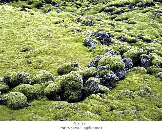 Iceland, moss