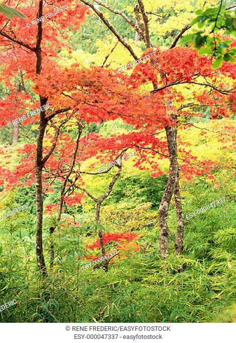 Japanese Maples (Acer palmatum) in autumn. Butchart Gardens. British Columbia. Canada