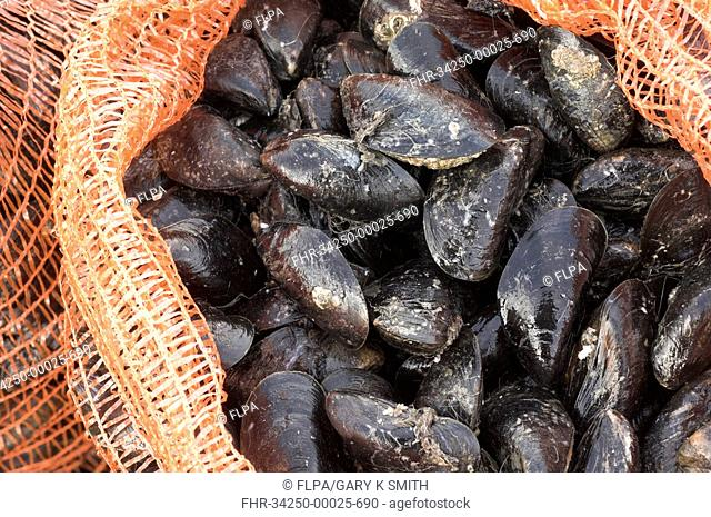 Common Mussel Mytilus edulis freshly harvested, in sacks and ready for market, North Norfolk, England, winter