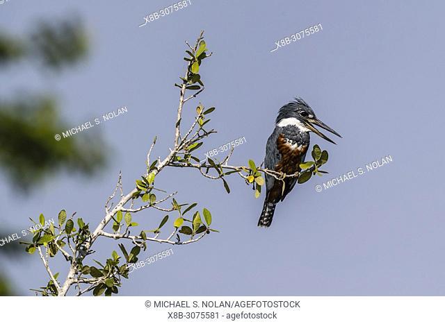 An adult female ringed kingfisher, Megaceryle torquata, Pousado Rio Claro, Mato Grosso, Brazil