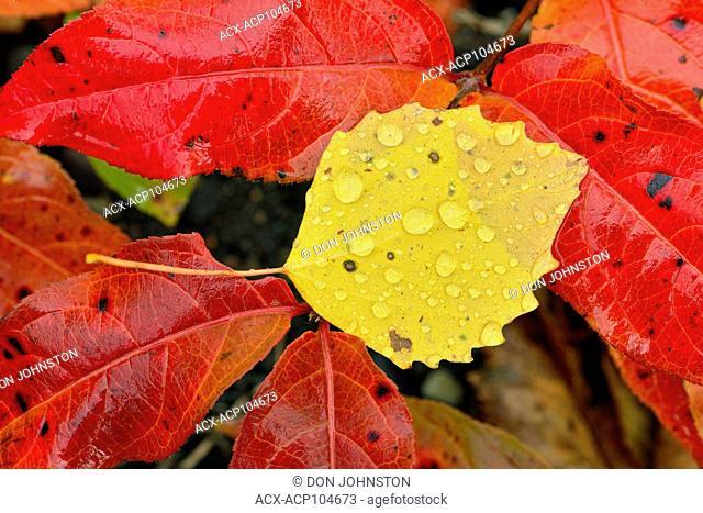 Fallen aspen leaf (Populus tremuloides) with raindrops , Greater Sudbury, Ontario, Canada