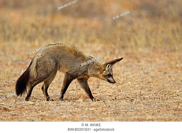 bat-eared fox (Otocyon megalotis), looking for food on the ground, South Africa, Kgalagadi Transfrontier National Park