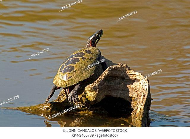 Painted turtle (Chrysemys picta), Virginia, USA