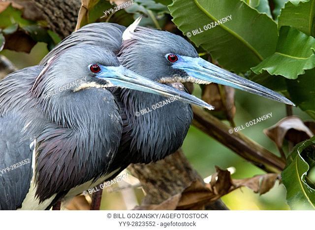 Tri-colored Herons breeding pair - Wakodahatchee Wetlands, Delray Beach, Florida, USA