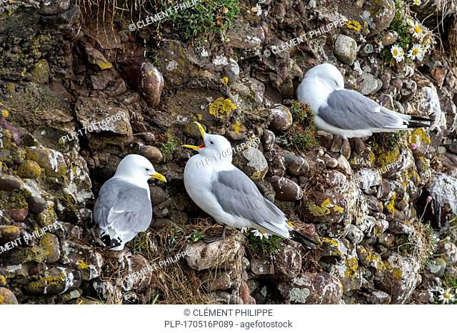 Black-legged kittiwake (Rissa tridactyla) calling from sea cliff face at seabird colony in spring, Scotland, UK
