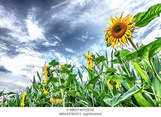 Sunflower field, summer