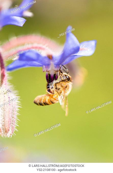 Macro shot of bee pollinating Borage (Borago officinalis) flower