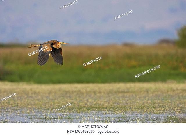 Purple Heron Ardea purpurea