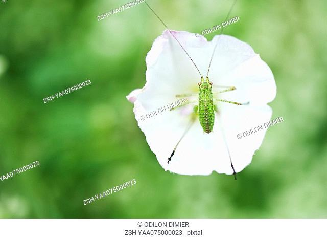 Speckled Bush Cricket nymph perched in center of white flower