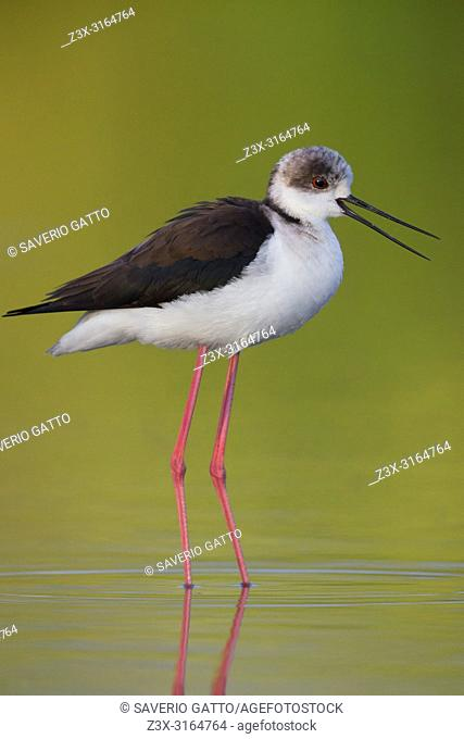 Black-winged Stilt calling, adult standing in water yellow background, Campania, Italy