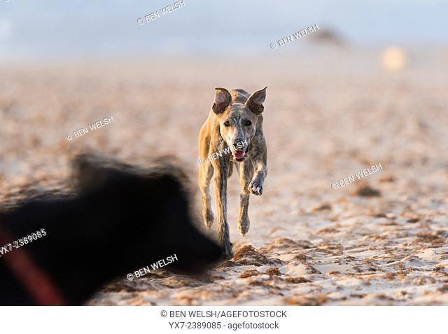 Dogs playing at the beach. Tarifa, Cadiz, Costa de la Luz, Andalusia, Spain