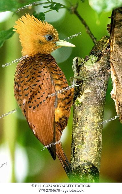 Chestnut-colored Woodpecker female (Celeus castaneus) - Boca Tapada, San Carlos, Costa Rica