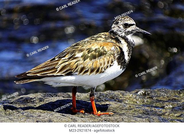 A side view of a ruddy turnstone, arenaria interpres, Long Beach Island, New Jersey, USA
