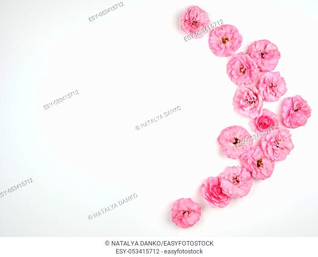 blooming buds of pink roses on a white background, top view, copy space, flat lay