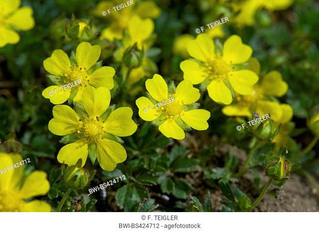 Spring cinquefoil (Potentilla tabernaemontani, Potentilla verna, Potentilla neumanniana), flower, Germany