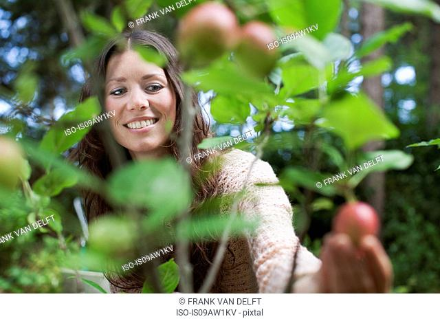 Young woman picking apples from garden