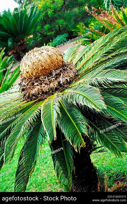 Cycas revoluta (sago cycad) botanical garden Funchal, Madeira