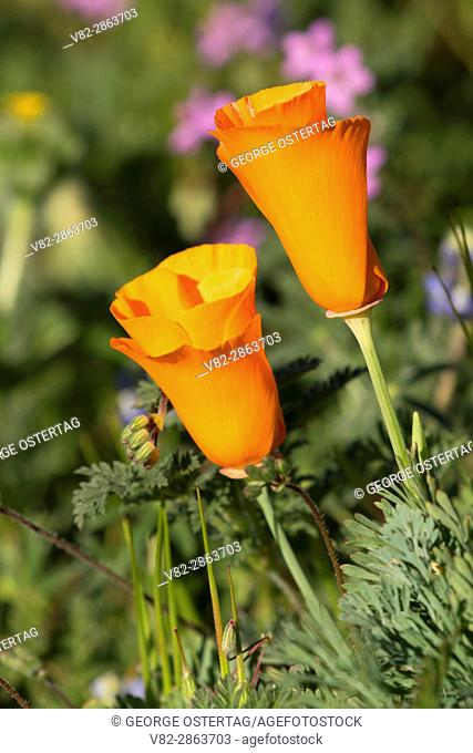 California poppies (Eschscholzia californica), Antelope Valley California Poppy State Reserve, California