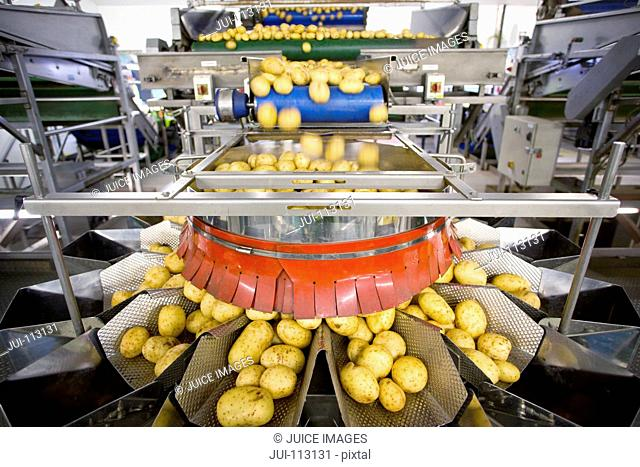 Potato sorting machine on production line in food processing plant
