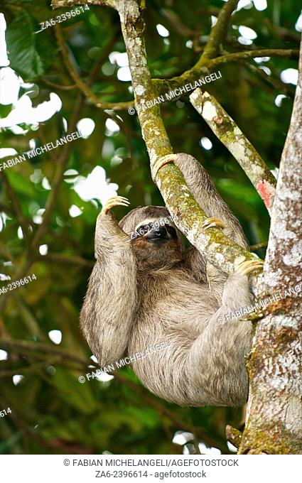 Three-toed sloth (Bradypus variegatus) in the northern mountain rainforests, Venezuela