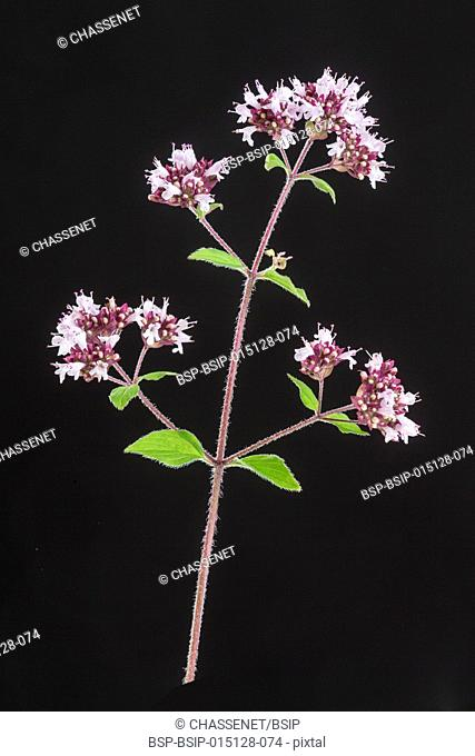 Oregano with flower