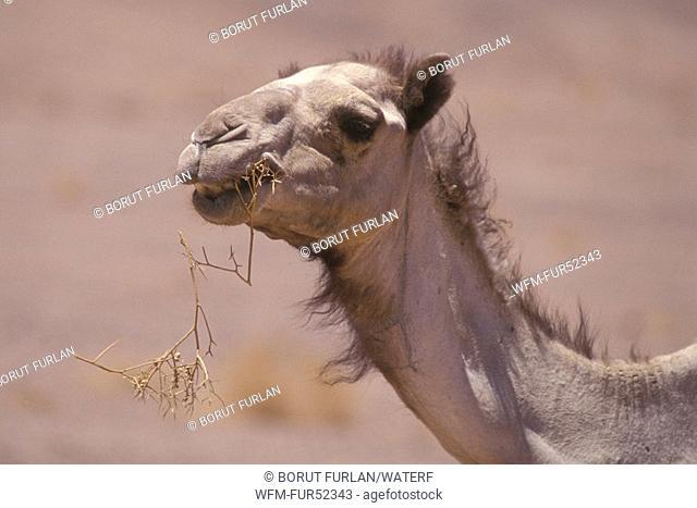 Dromedary, Camelus dromedarius, Sinai, Egypt