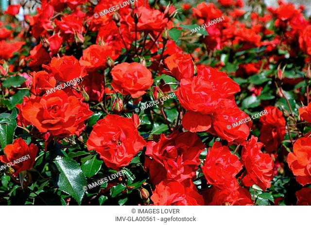 Close View of Red Roses