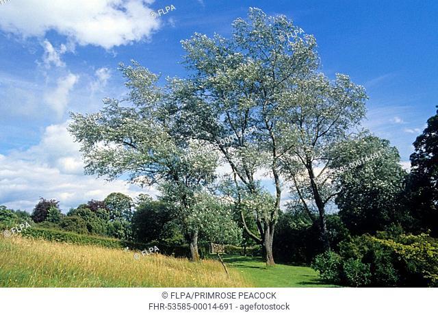 White Poplar Populus alba mature trees, Cumbria, England