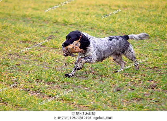 Cocker Spaniel carrying shot partridge