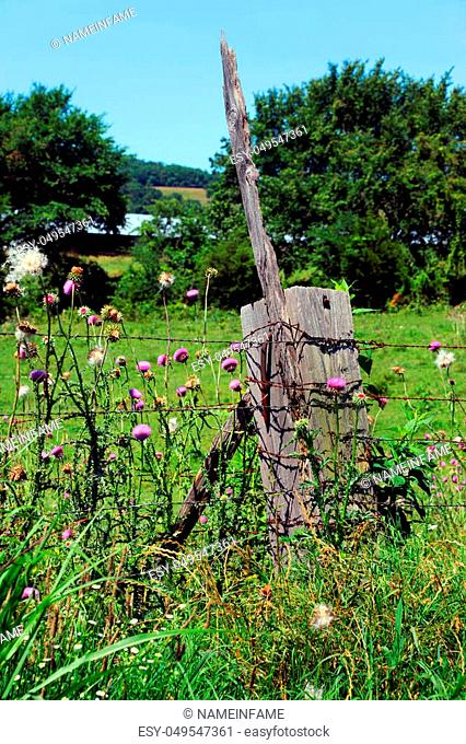 Thick, wooden fence post has huge rusty nail protruding and a stick. Pink wildflowers called purple thistle grows in profusion around post