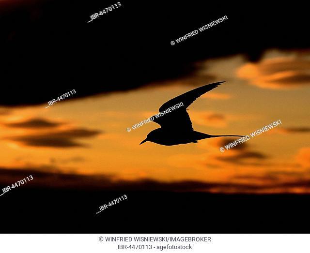 Arctic Tern (Sterna paradisaea) in flight, midnight sun, Varanger, Norway
