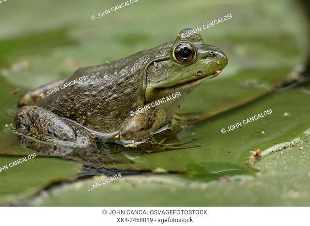 Bullfrog, Rana catesbiena, Virginia, USA