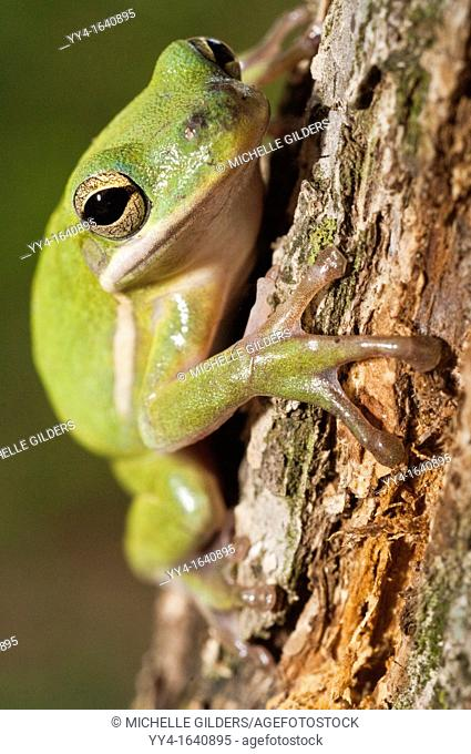 The green tree frog, Hyla cinerea, is a common species in the southern and southeastern United States