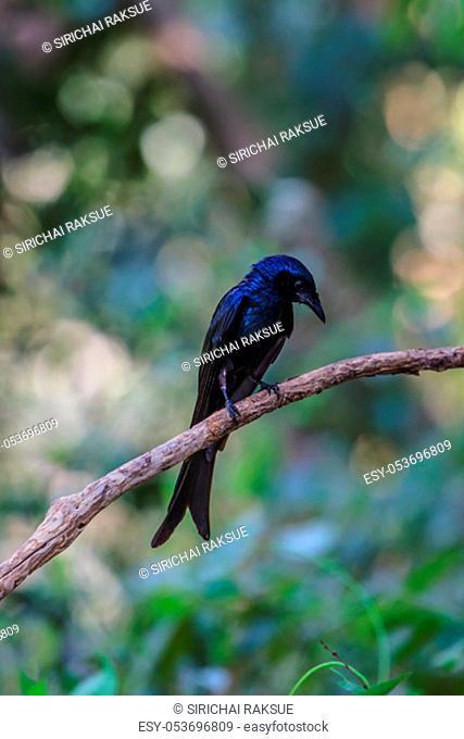 Black drongo, Dicrurus Macrocercus, beautiful bird in forest
