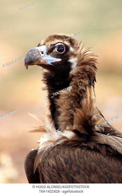 Black vulture feeding on a sheep
