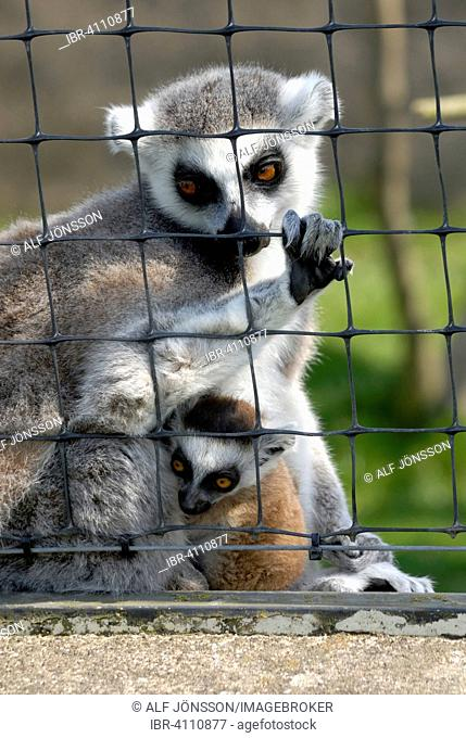 Ring-tailed Lemurs (Lemur catta), female with a pup, looking out through a fence in a zoo, Ystad, Sweden