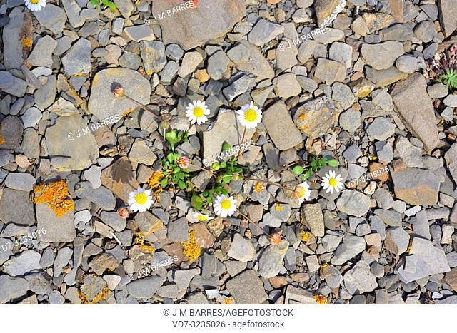 Miniature daisy or false daisy (Bellium bellidioides) is an herbaceous plant endemic to Balearic Islands, Corsica and Sardinia