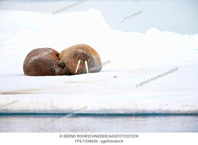 two Walruses, Odobenus rosmarus, lying on ice floe, Spitsbergen, Svalbard